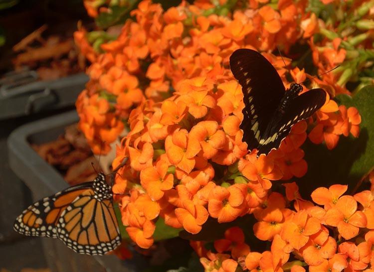Papillons entrain de butiner des fleurs