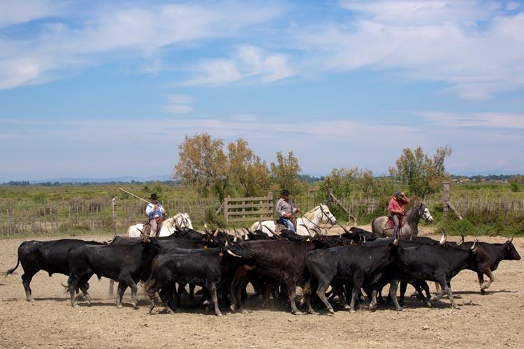 Journée en Manade, taureaux